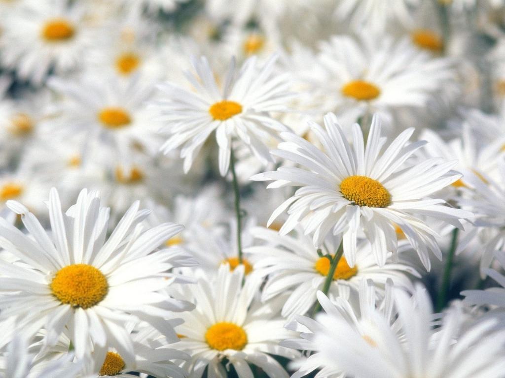 Картинки цветы ромашки красивые 8