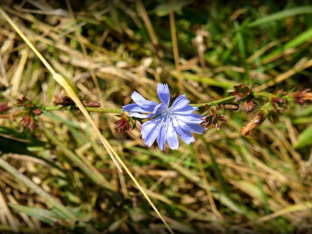 chicory wallpaper flower - photo #15