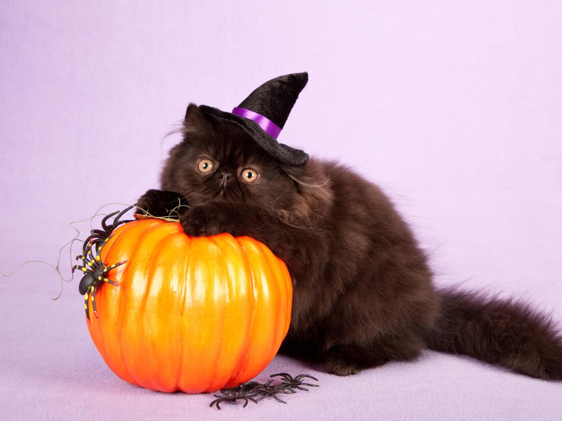 Fluffy Black Cat With Halloween Pumpkin Desktop Wallpapers 1152x864