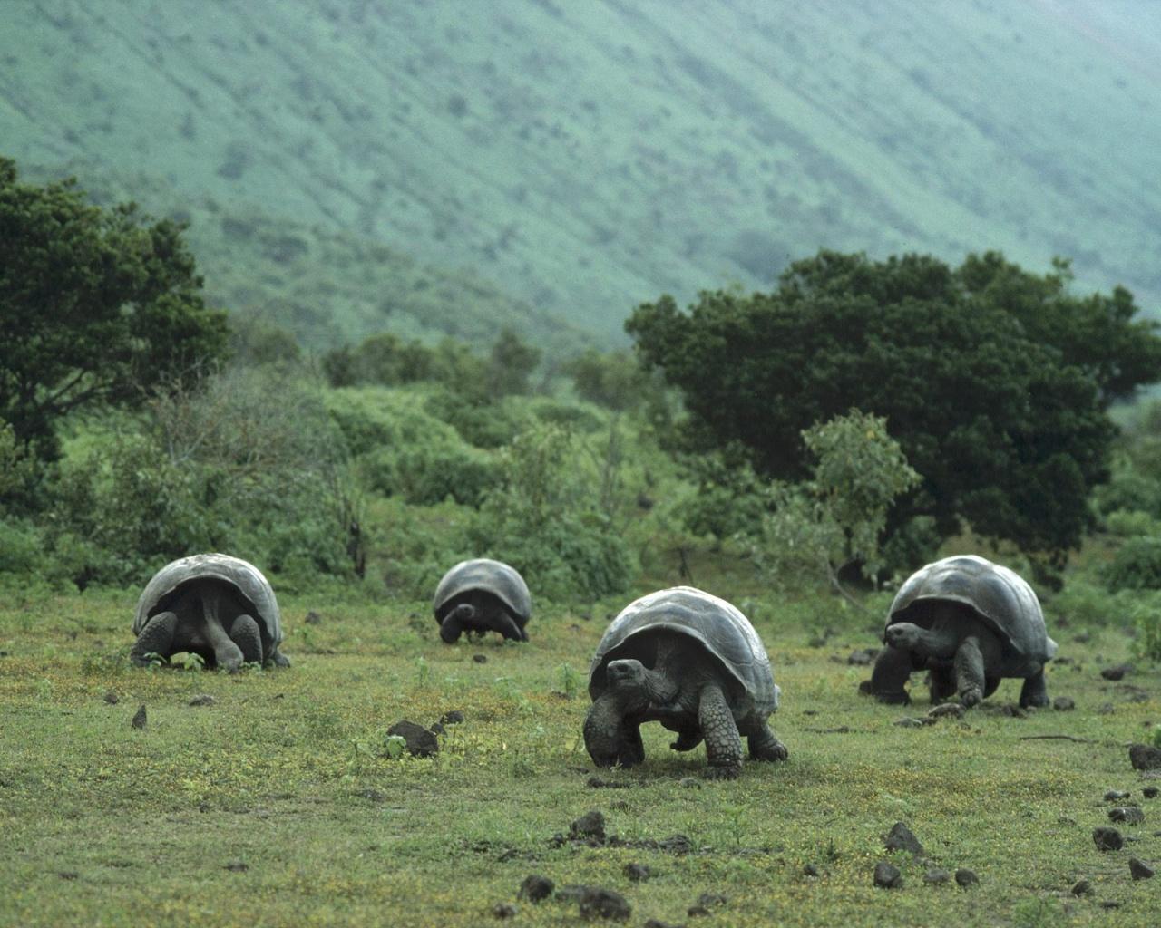 Previous, Animals - Reptiles - Big turtle wallpaper