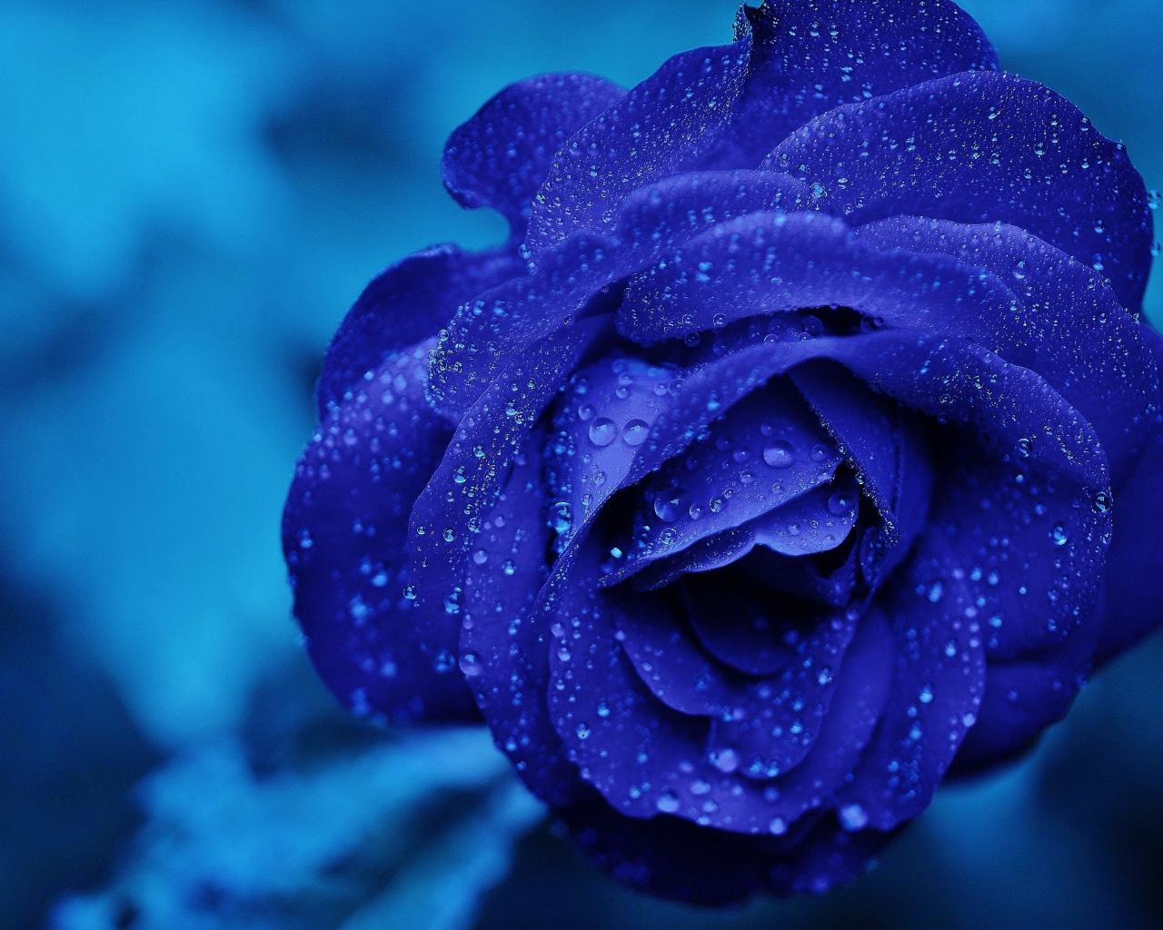 Днем рождения, синяя роза картинки на аву