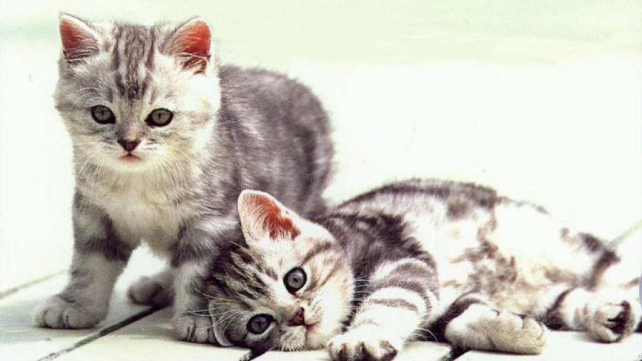 инбридинг у кошек котята