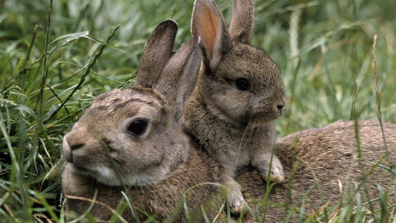 Зайчиха и малыш Обои для рабочего ...: zastavki.com/rus/animals/hares_and_rabbits/wallpaper-31754-26.htm