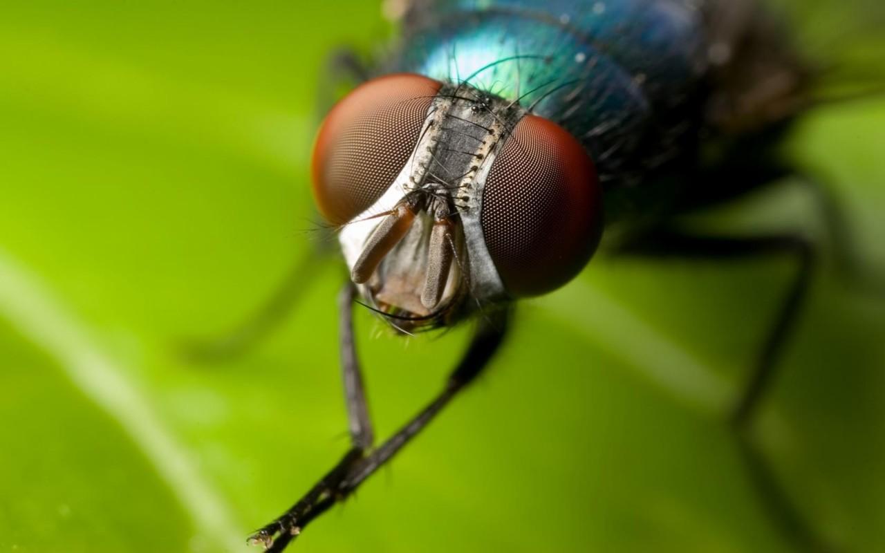 схема насекомое мухи