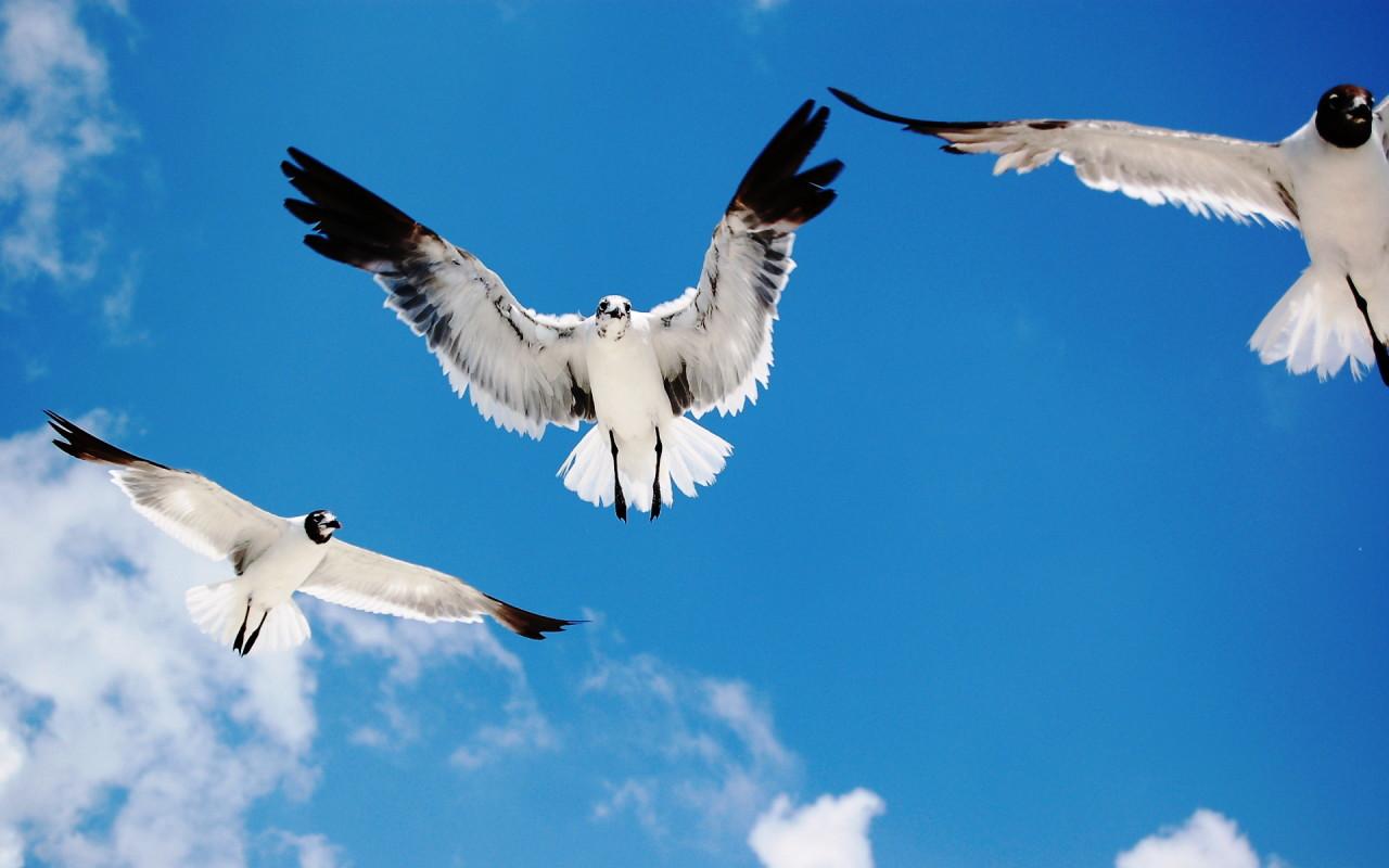 http://www.zastavki.com/pictures/1280x800/2008/Widescreen_Seagulls_attack_005483_.jpg