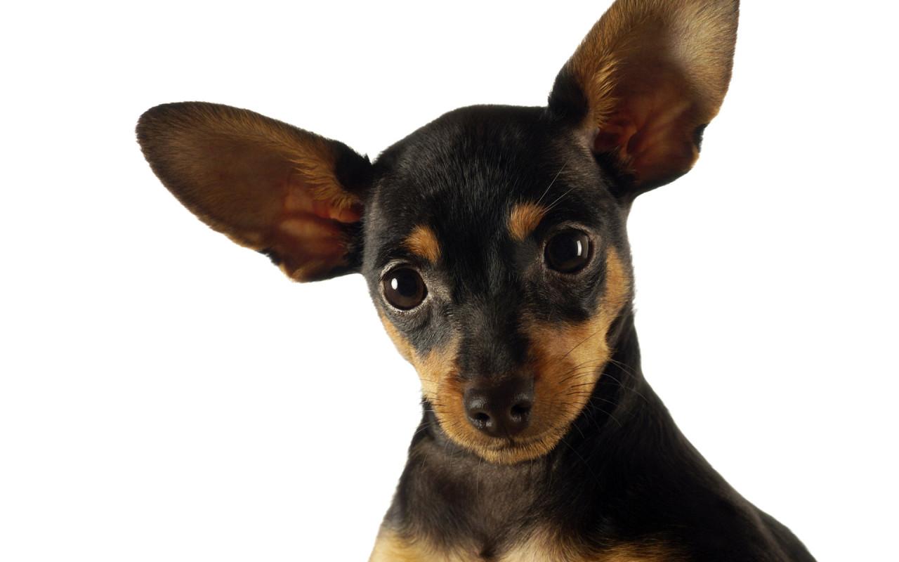 as desktop background desktop wallpapers animals dogs funny dog ...