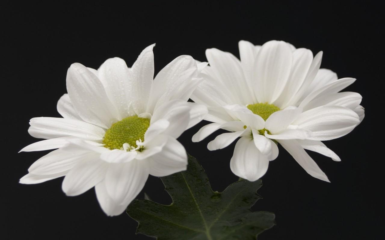 Обои природа цветы белые цветы