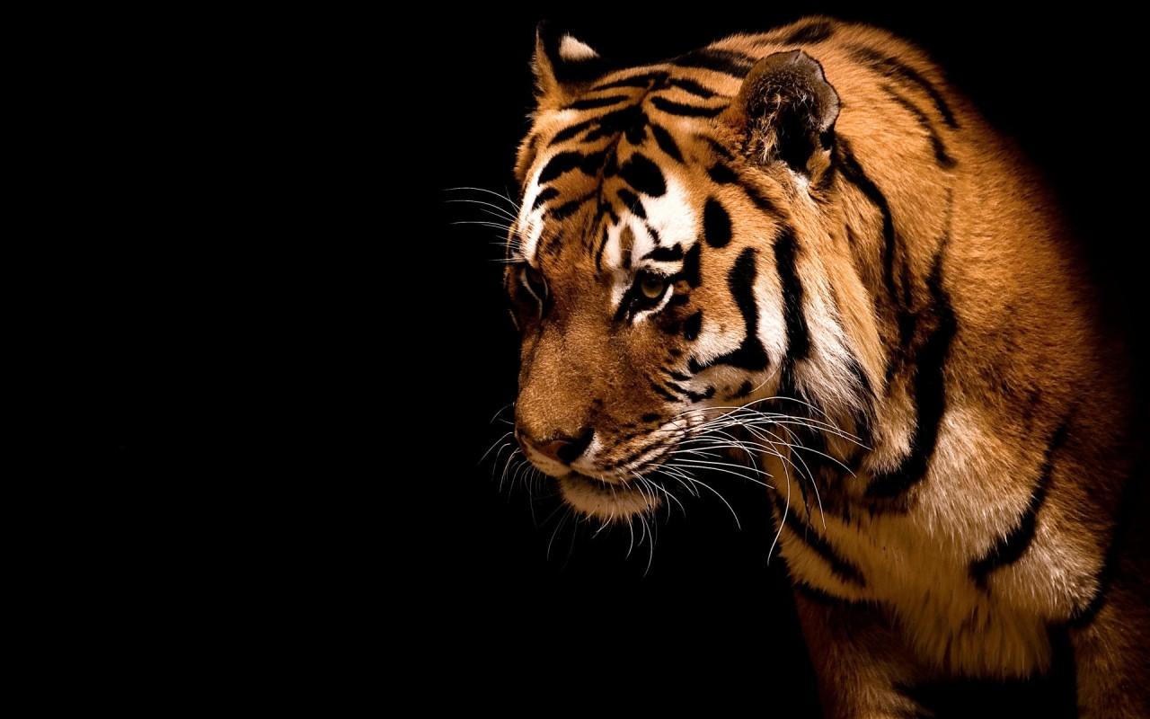 Tiger on a black background desktop wallpapers 1280x800 - Animal black background wallpaper ...