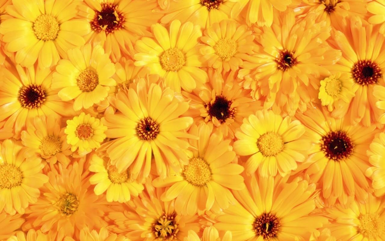 Желтые цветы картинки 1