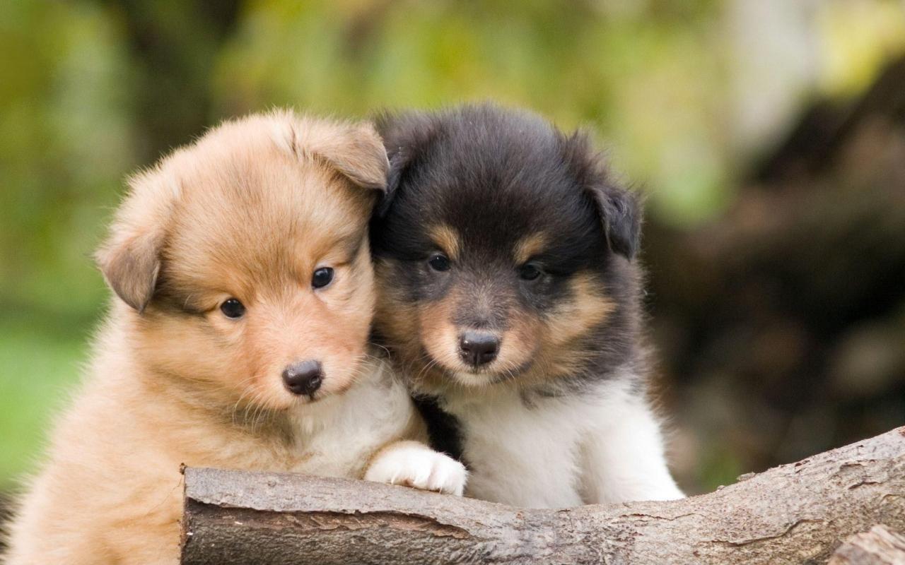 Animals___Dogs_Beautiful_Sheltie_breed_p