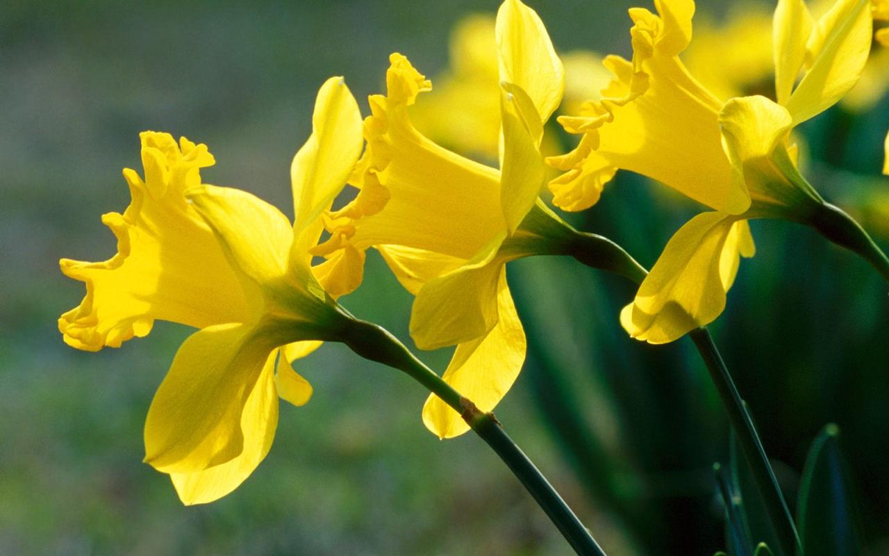download daffodils 1920x1080 wallpaper - photo #25