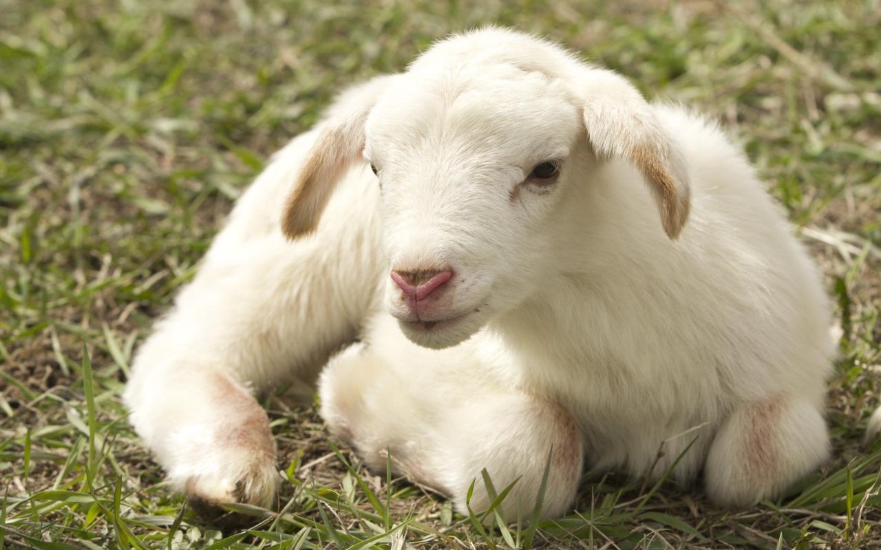 Маленький белый ягненок на зеленой траве