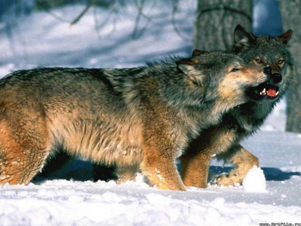 Обои волк и волчица