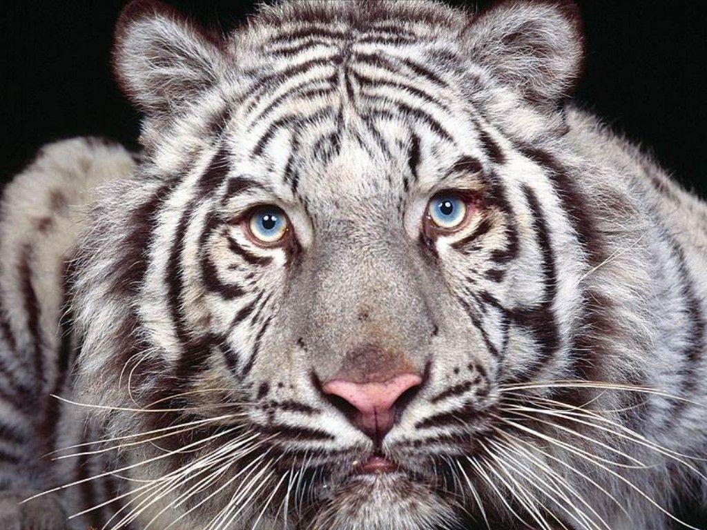 тигр альбинос фото