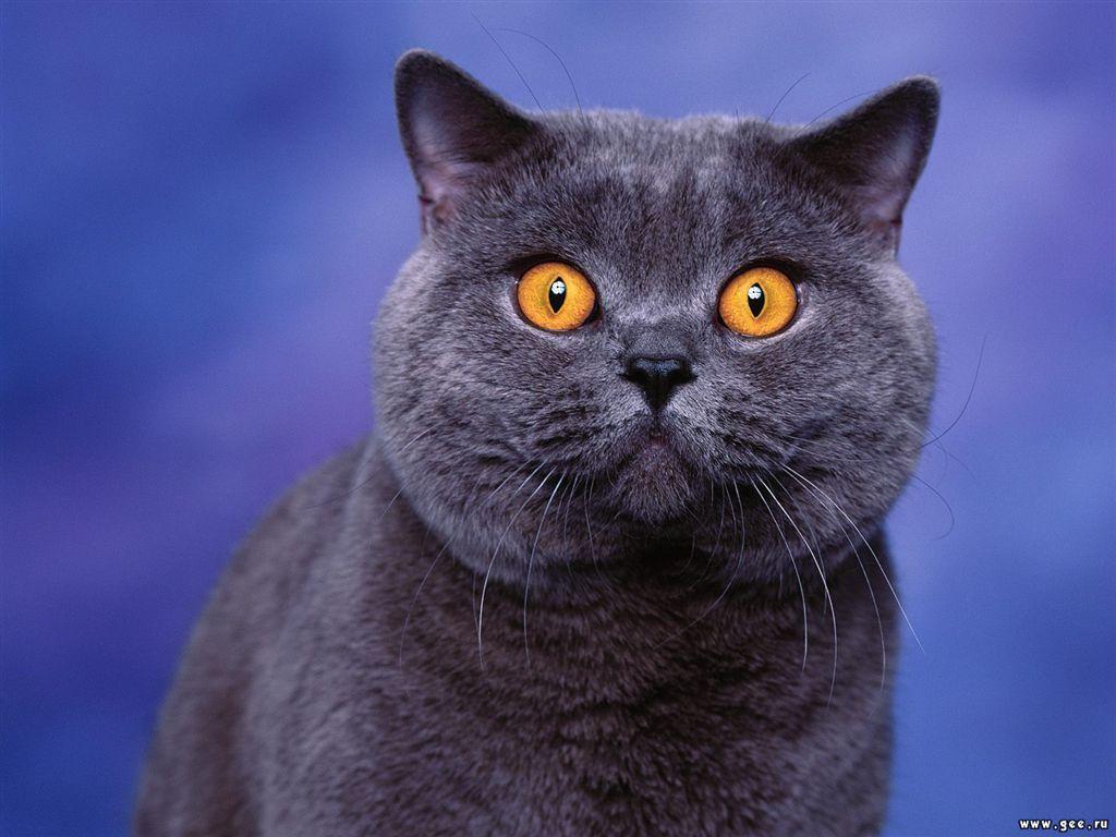 Обои взгляд кошки