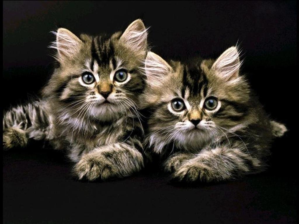 Полосатые кошки обои для рабочего