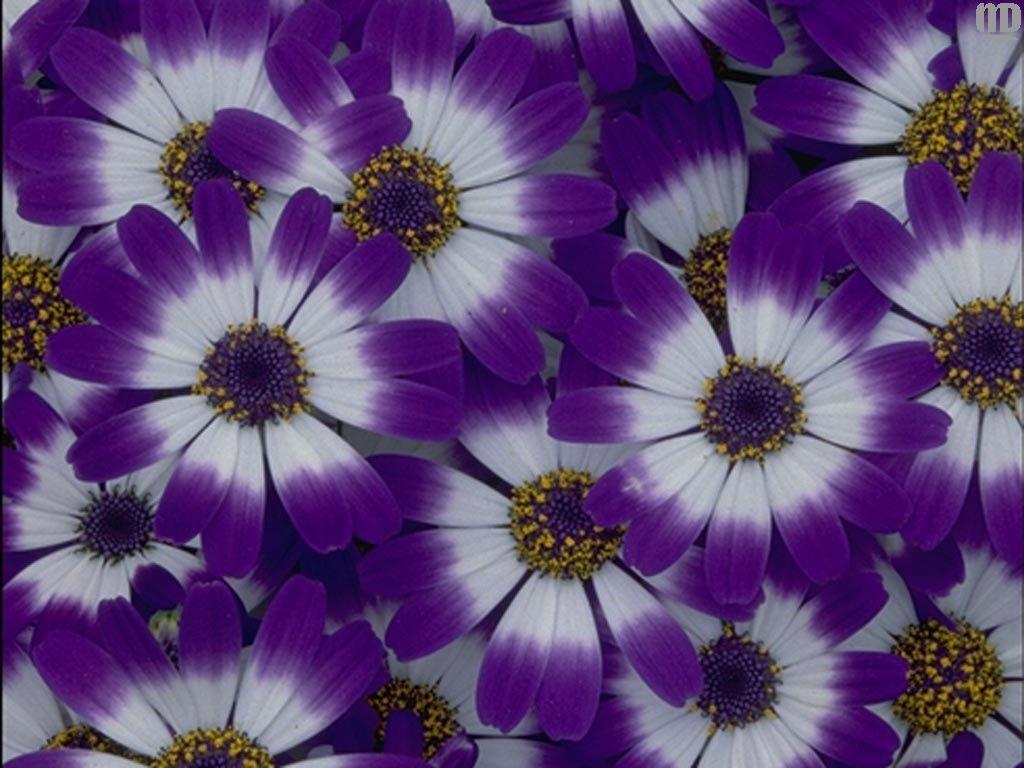 Ромашки, картинки цветы слайд шоу