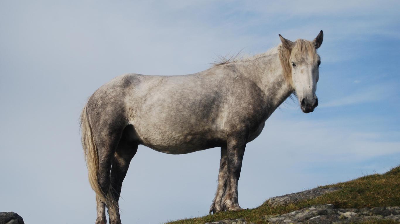 Gray Horse Desktop Wallpapers 1366x768