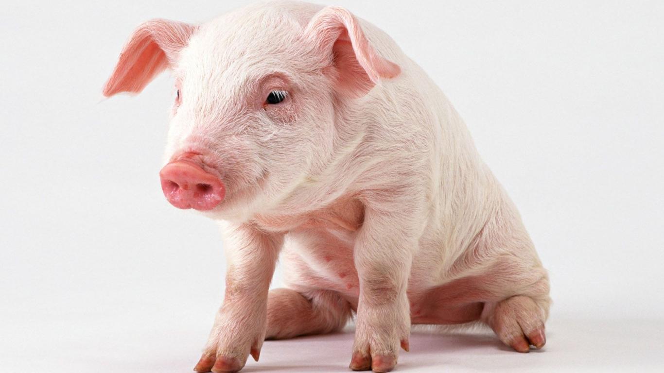 pink pig desktop wallpapers 1366x768