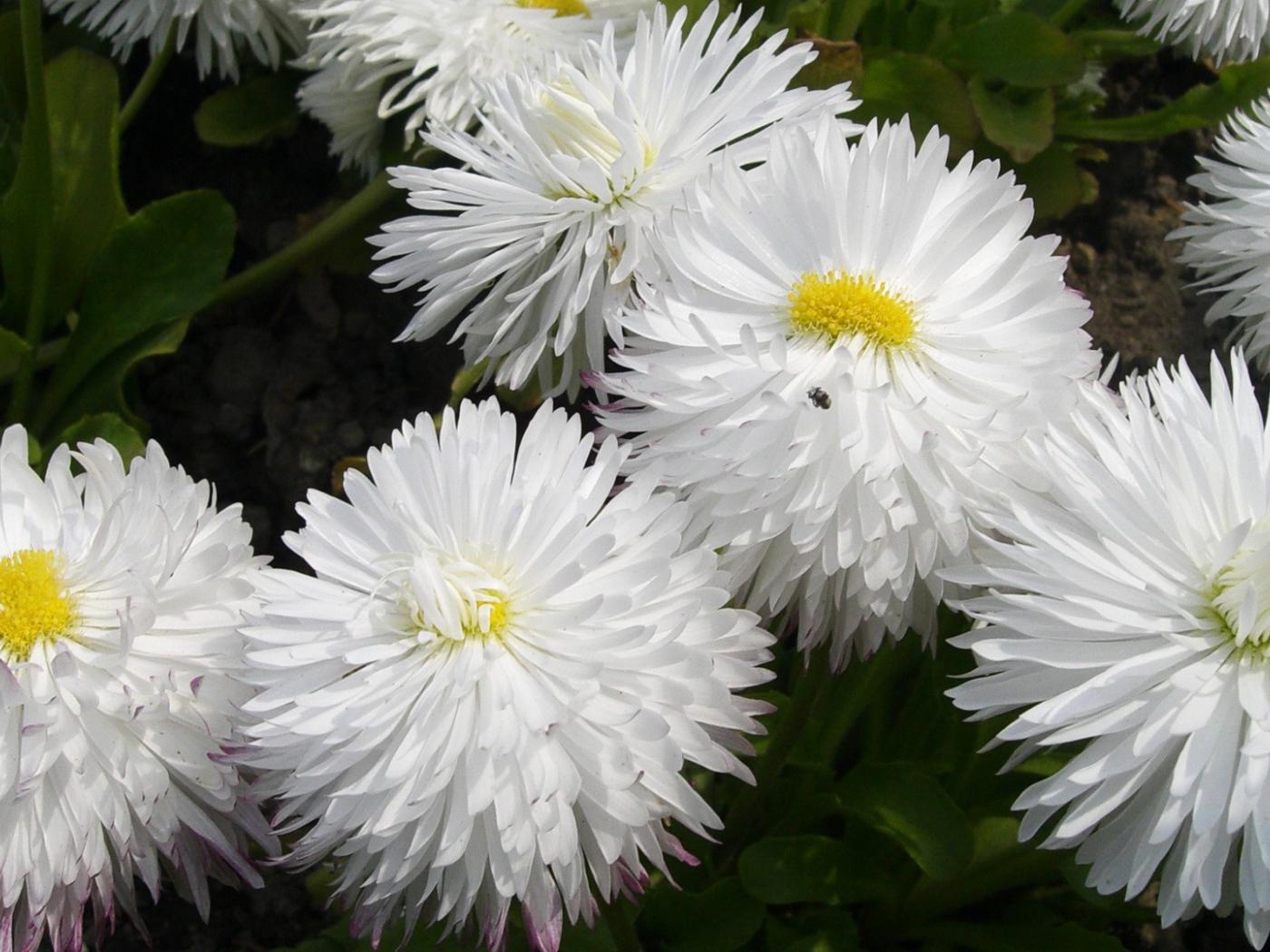 White fluffy flowers desktop wallpapers 1400x1050 mightylinksfo