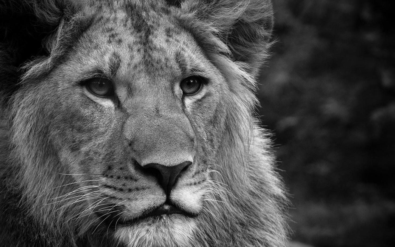 Black and white lion desktop wallpapers 1440x900 - Lion wallpaper ...