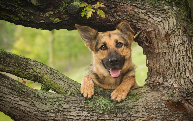 [Image: 2018Animals___Dogs_The_German_Shepherd_w...094_14.jpg]
