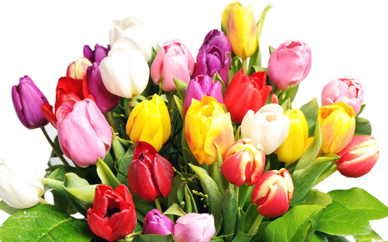 Фото цветы тюльпаны на прозрачном фоне