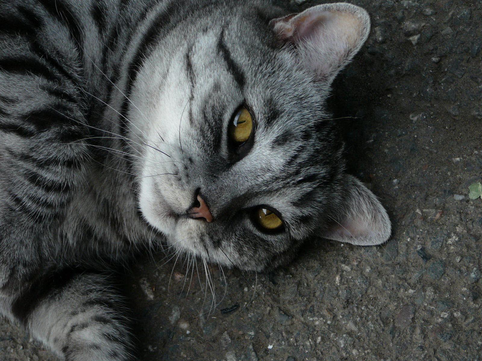 Fondo gris de un gato de ojos amarillos