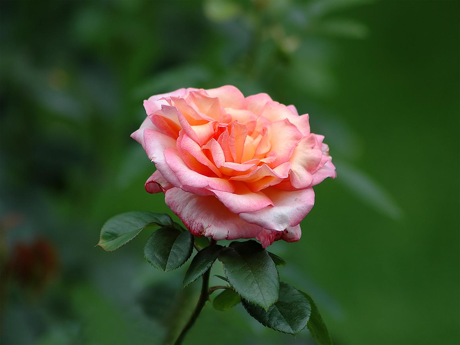 Цветы картинки фото розы, годовщина свадьбы открытки