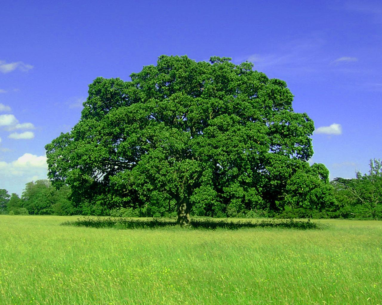 Обои отдых в тени огромного дерева