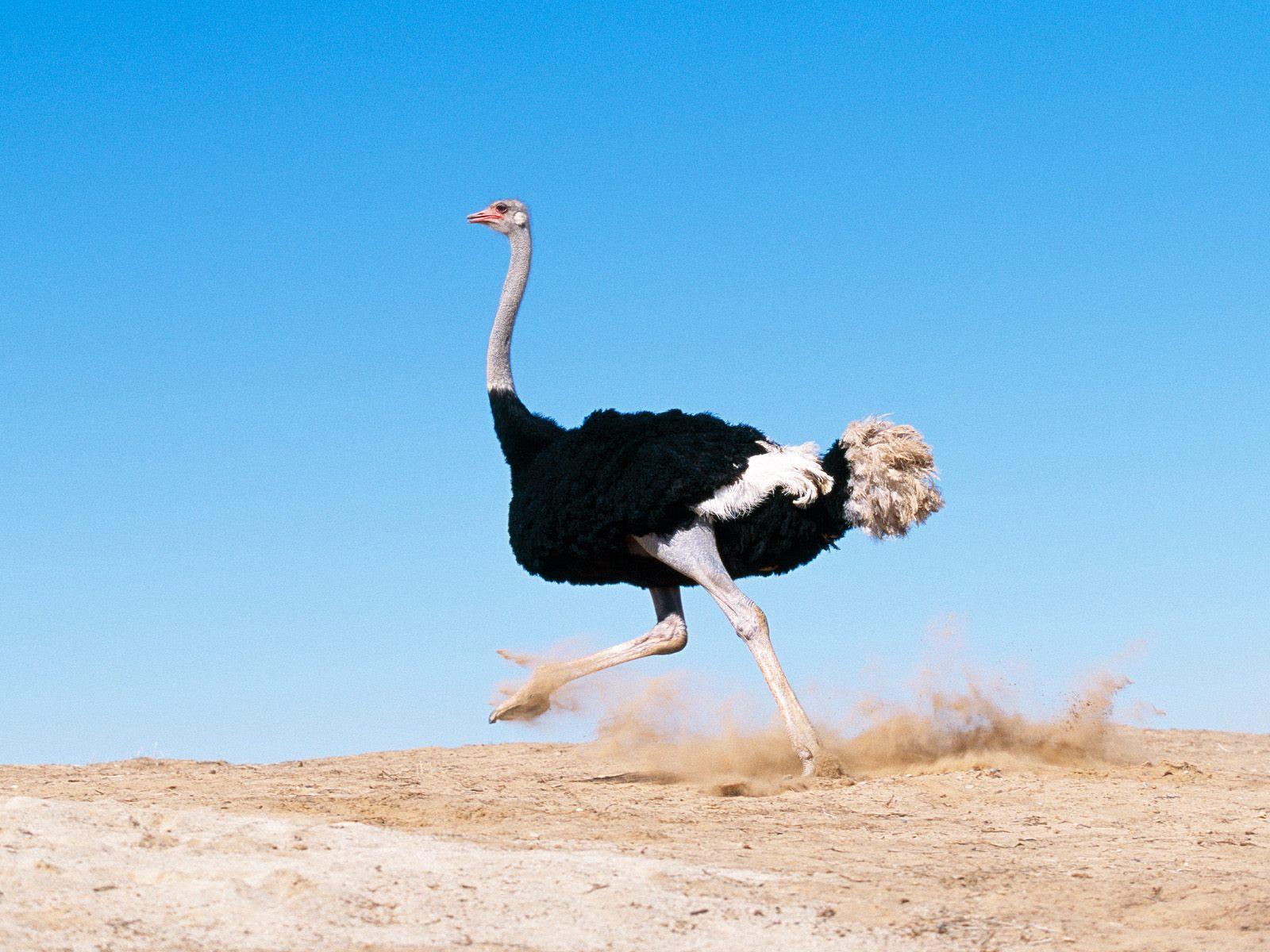 Африканский страус смешные фото