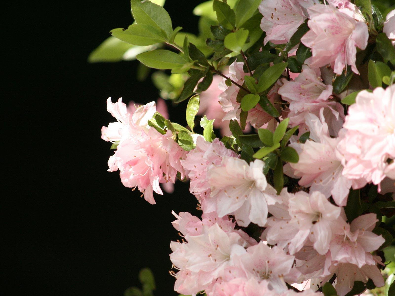 Zastaki.com - Розовые весенние цветы