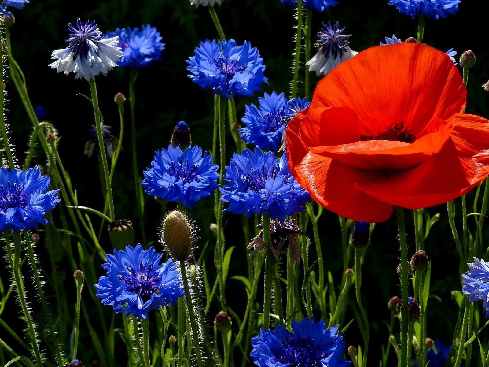 Красивые цветы васильки