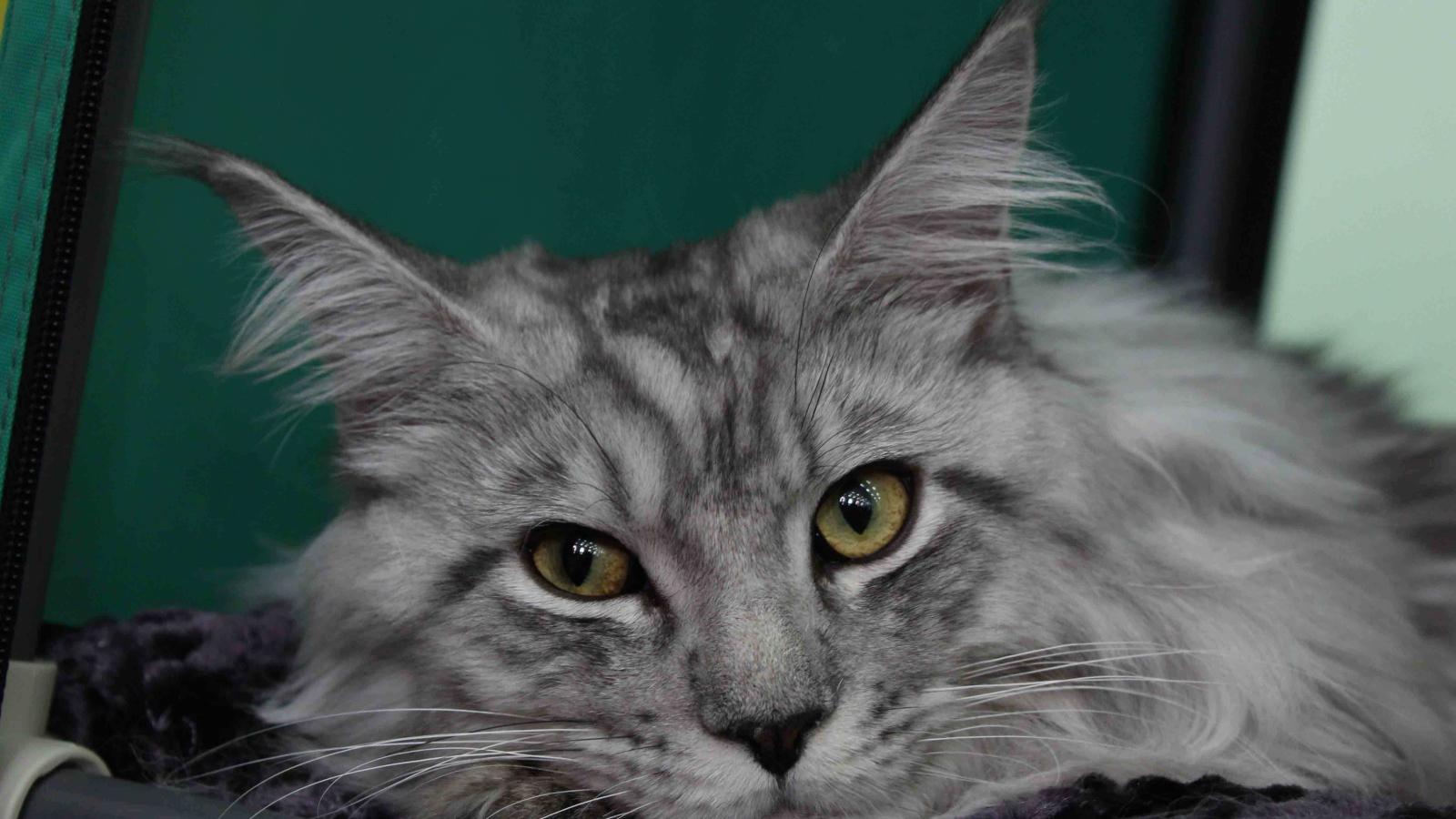 kitten yellow eye discharge