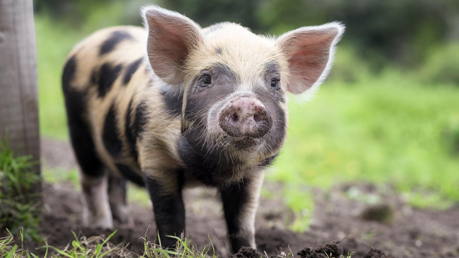 Funny Pig With A Dirty Pyatakom Desktop Wallpapers 1600x900