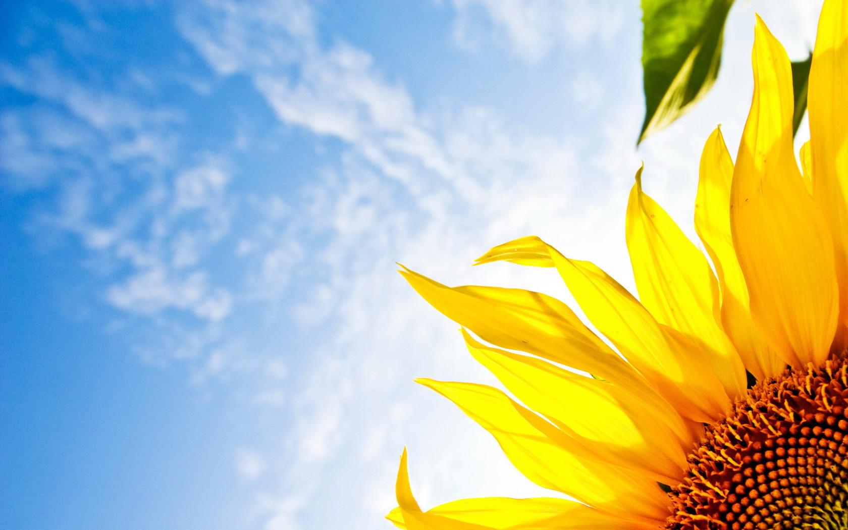 壁紙】 夏らしい向日葵の 壁紙 【ひまわり】 - naver まとめ
