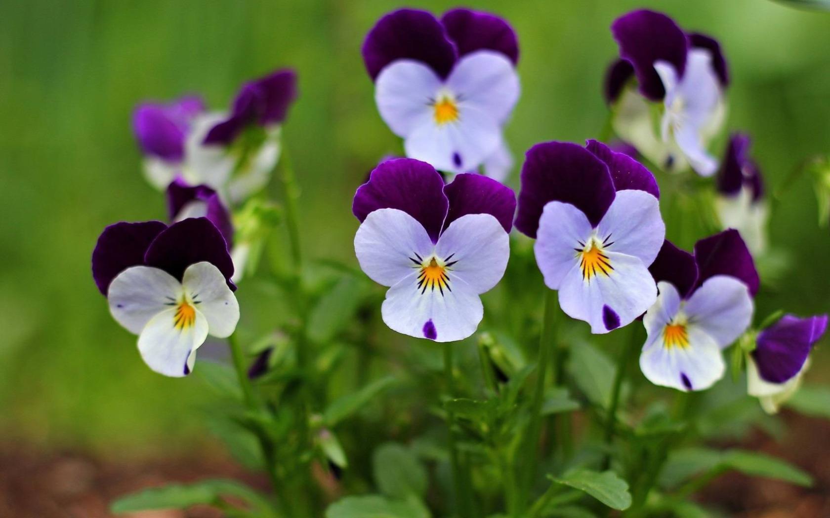Толкование снов -2 Nature___Flowers_Small_beautiful_flowers_pansy_065947_16