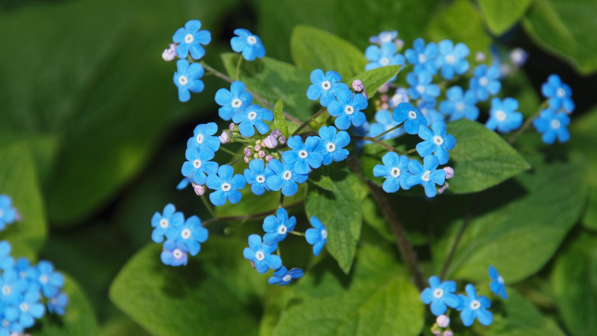 Цветы бруннеры