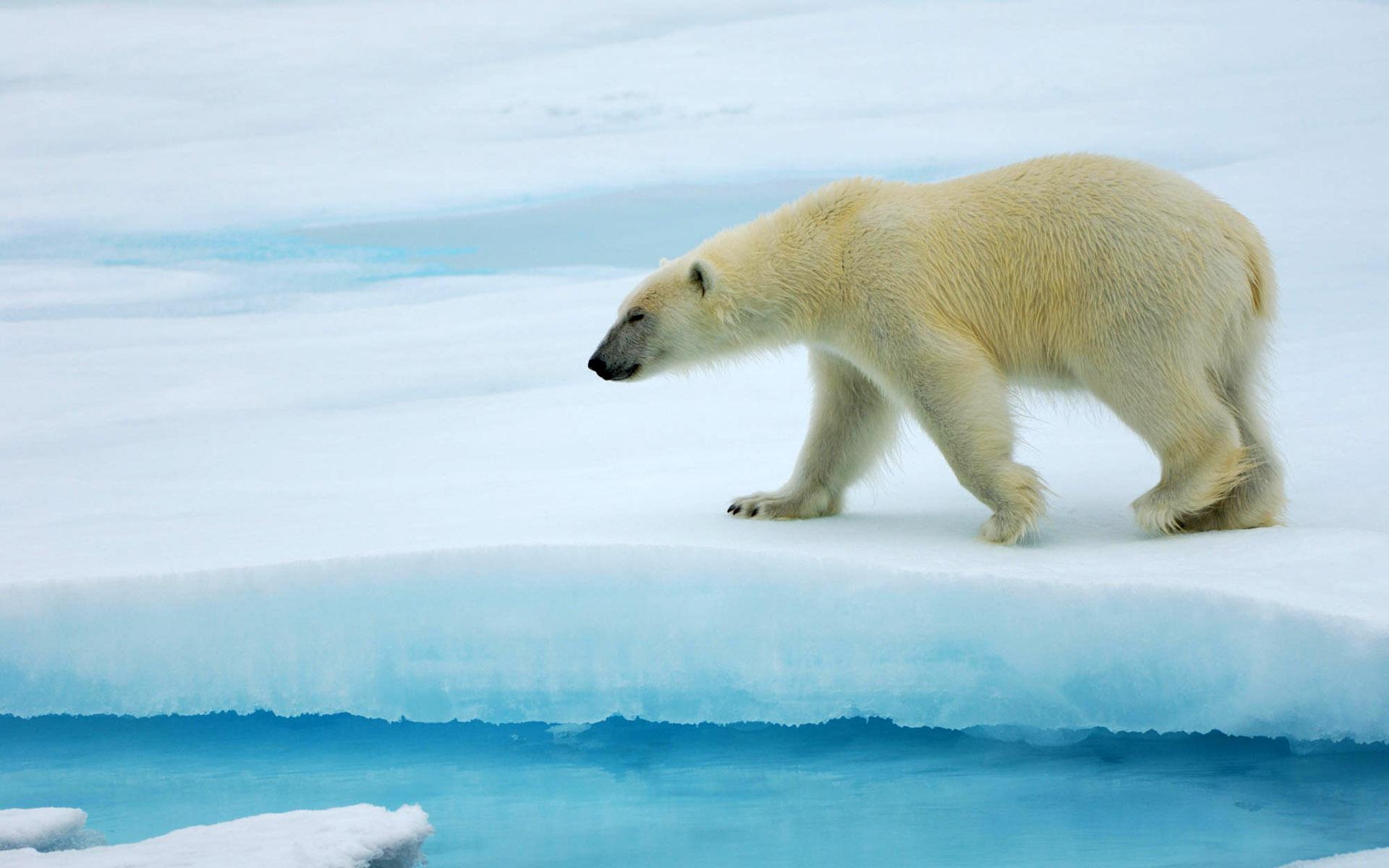 the physical characteristics behavior and habitat of the polar bear