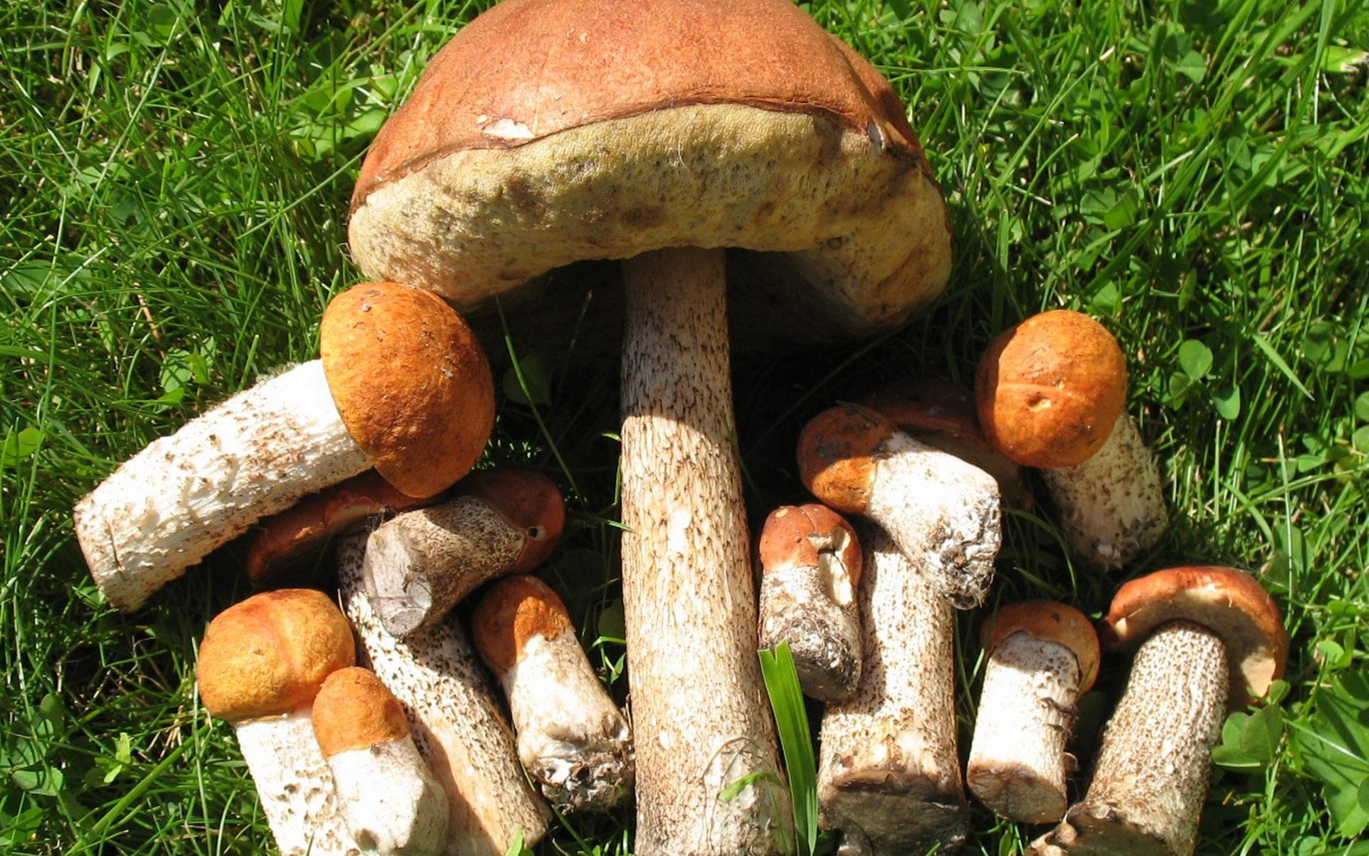показать очень красивые картинки съедобных грибов живёт главный мушкетёр