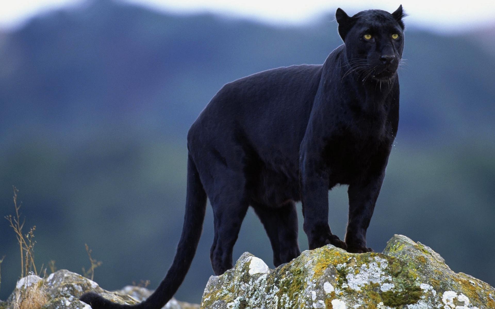 Black panther desktop wallpapers 1152x864 - Animal black background wallpaper ...