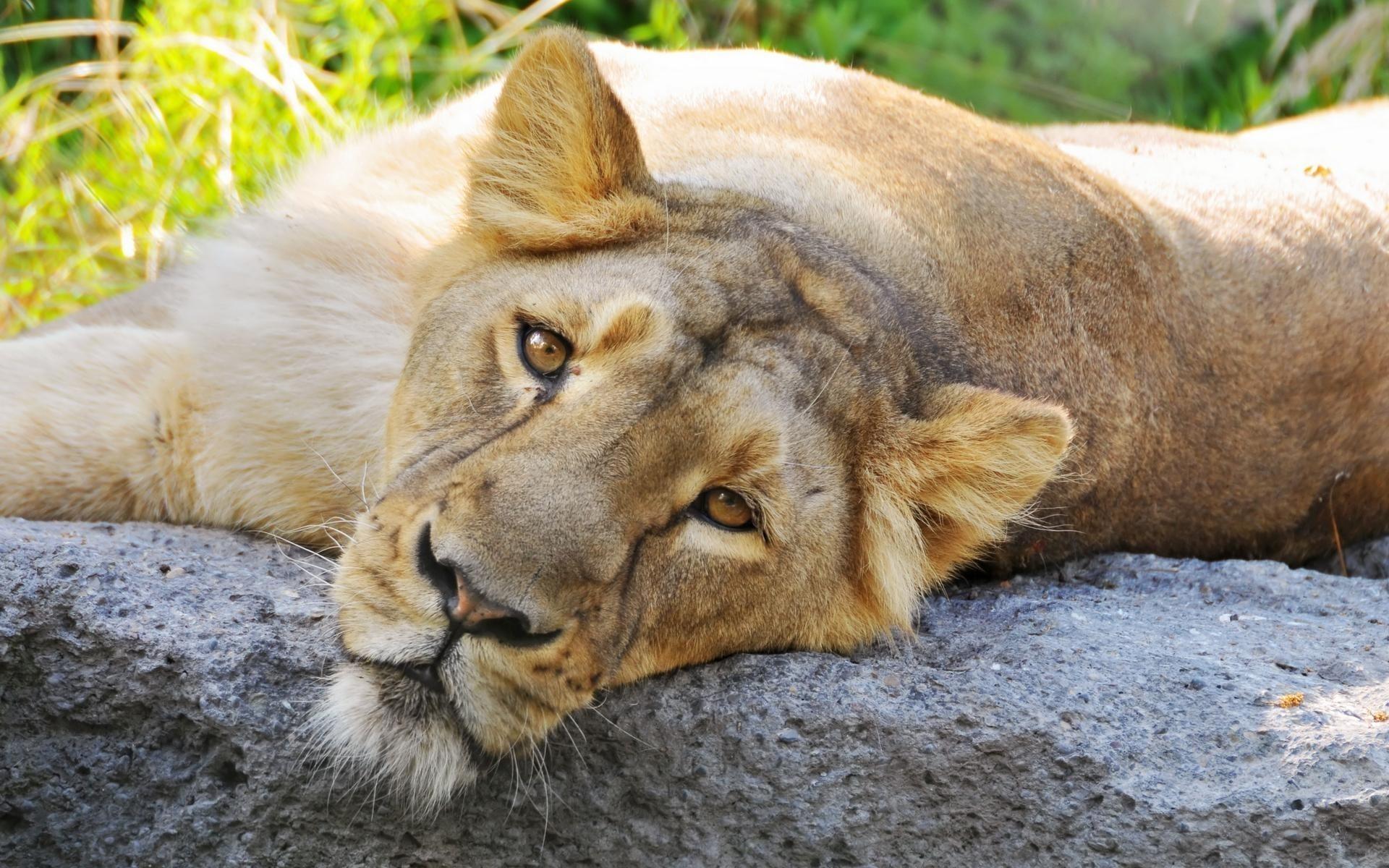 Лев к чему снится во сне Если видишь во сне Лев что