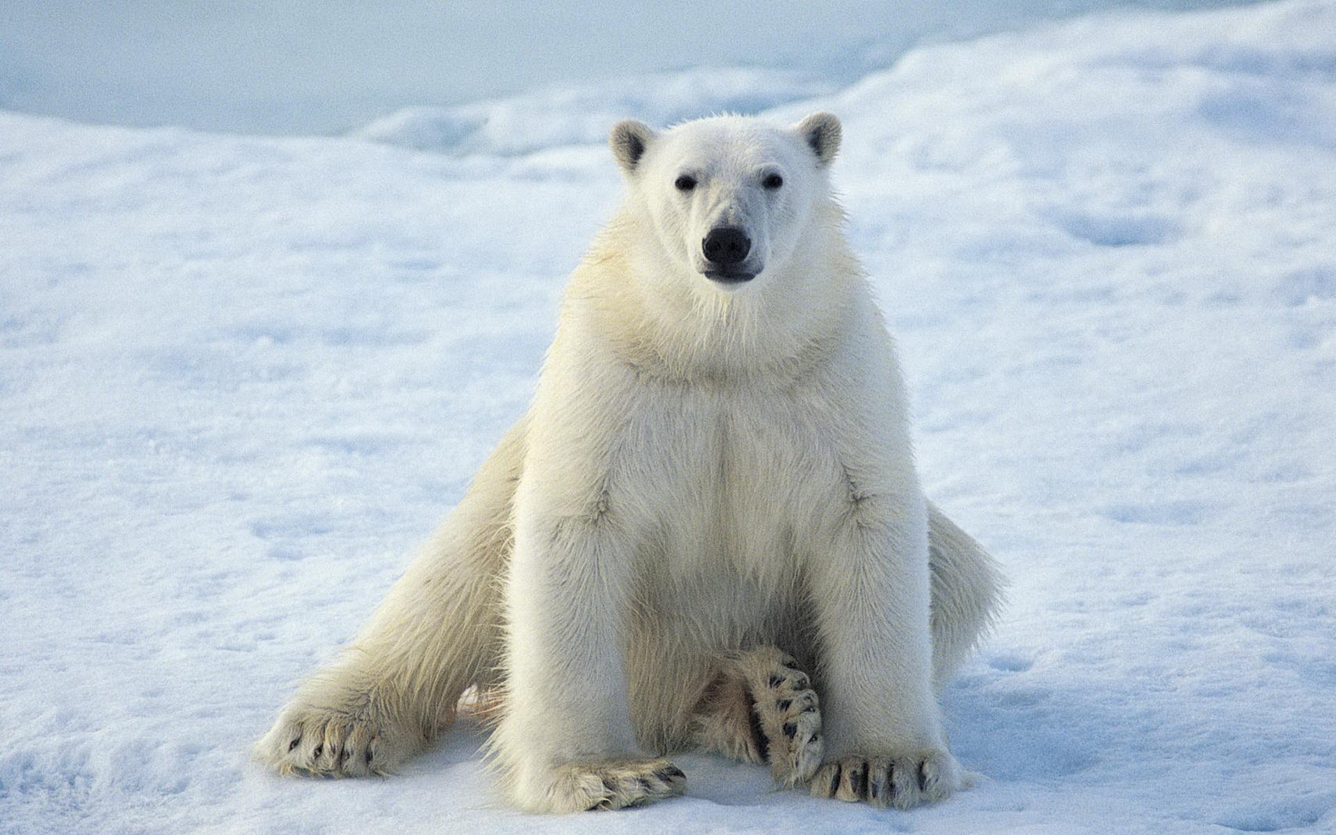 Sitting Bear Drawing Sitting Polar Bear