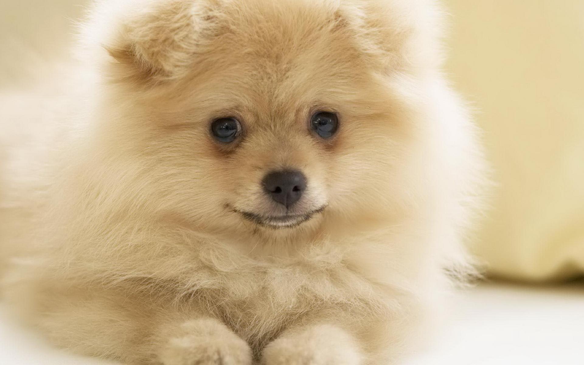 free pomeranian puppy wallpaper-#8