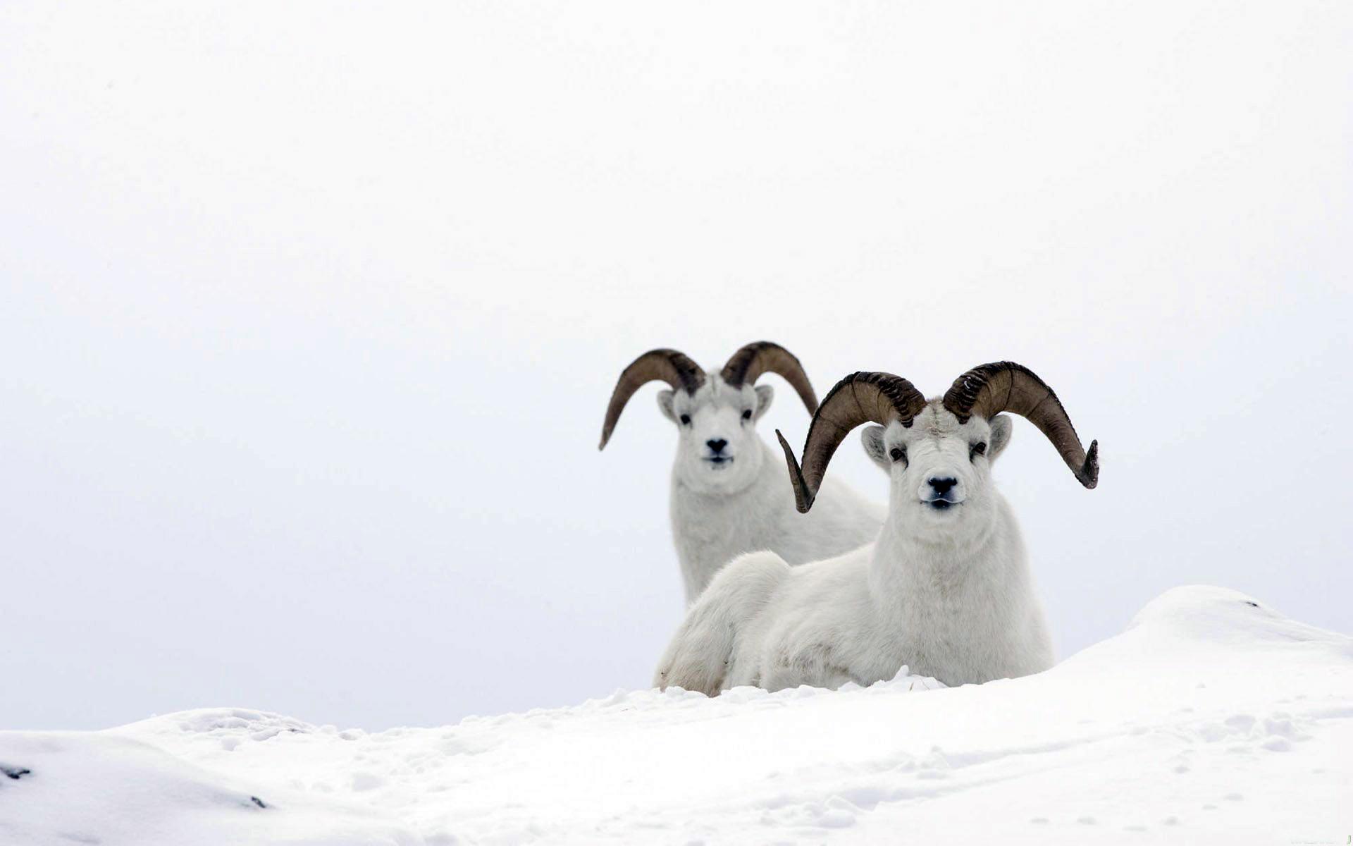 Snow mountain animals - photo#5