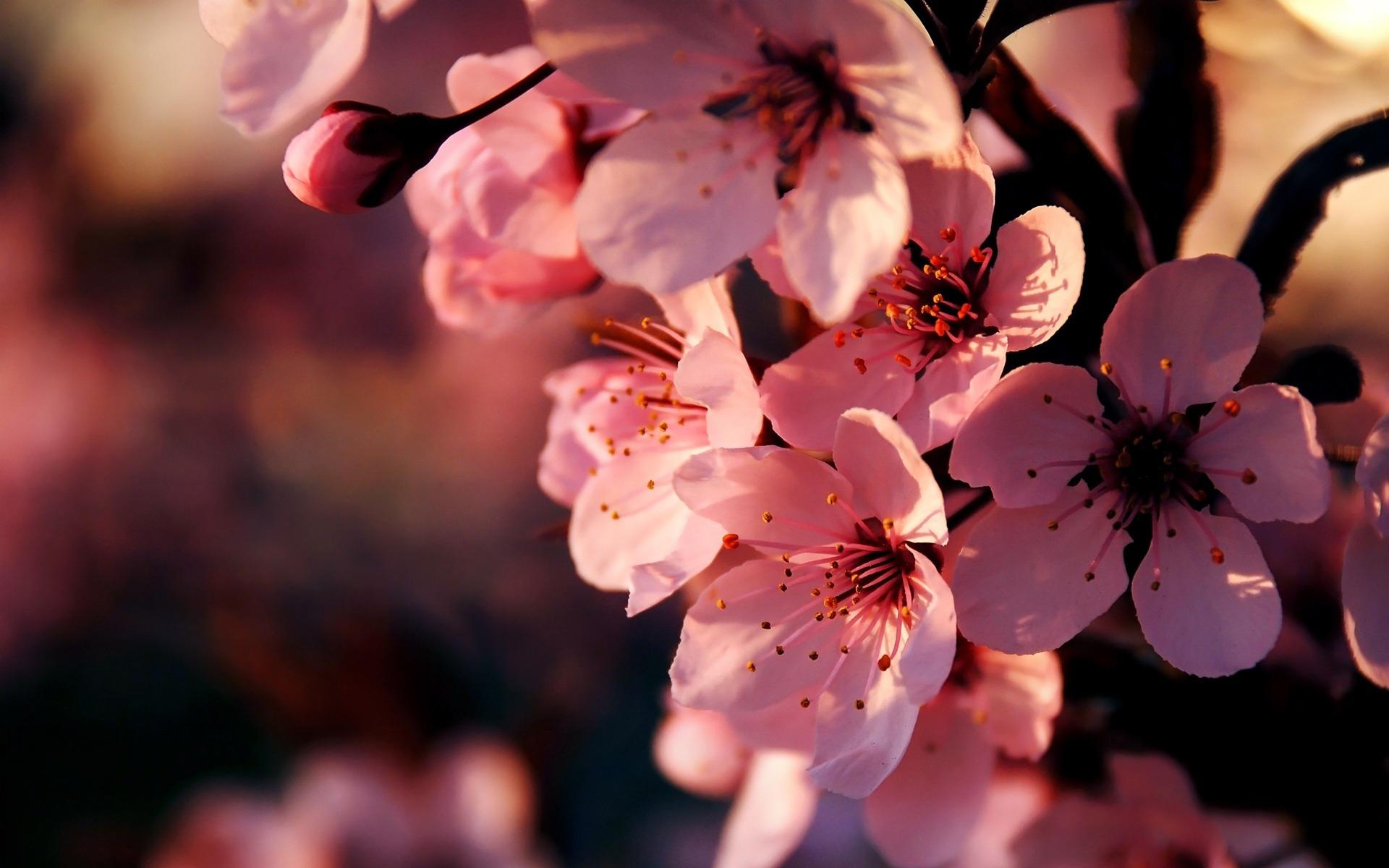 Картинки с цветами сакуры