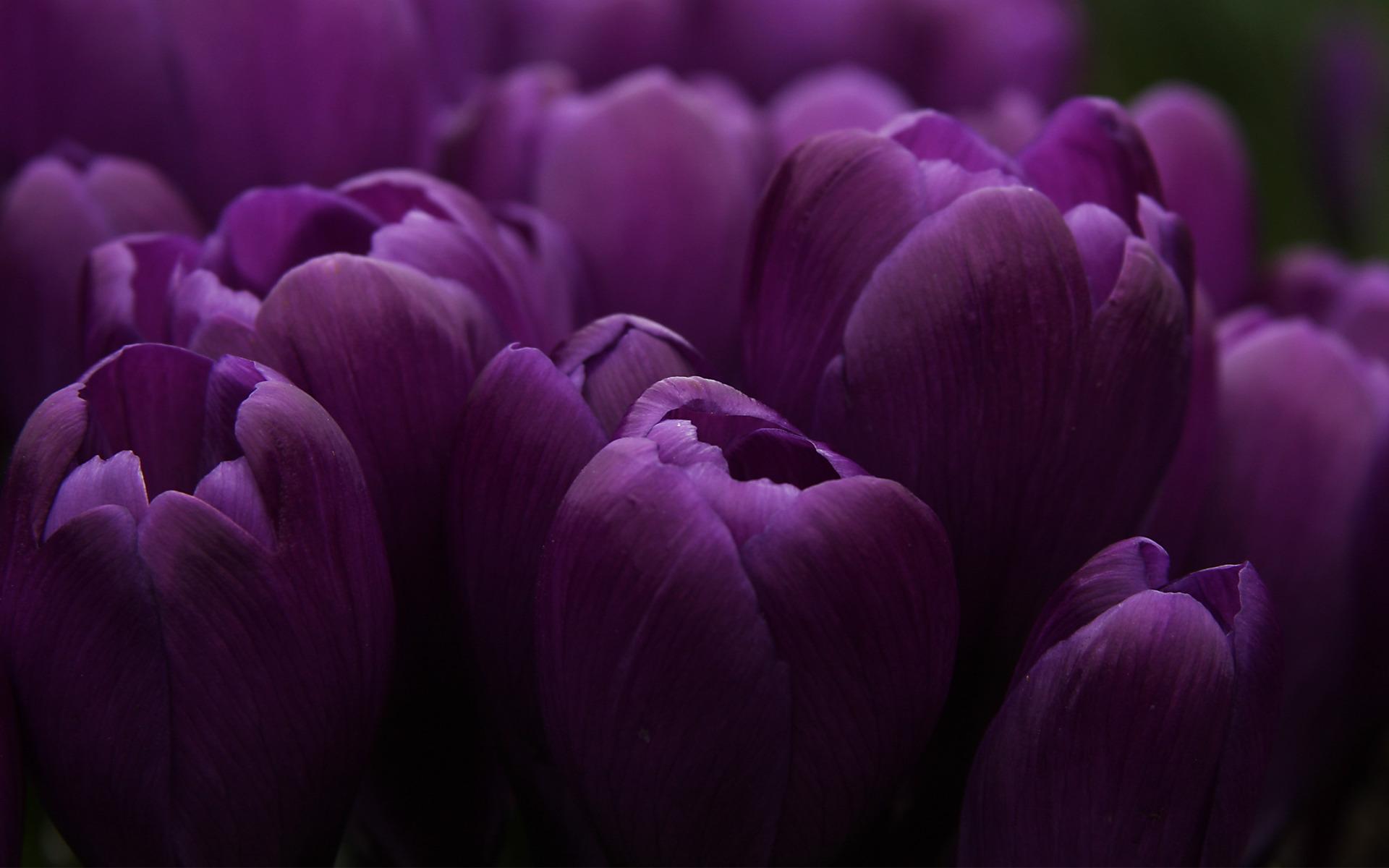 Тюльпаны картинки на рабочий стол, поздравления днем