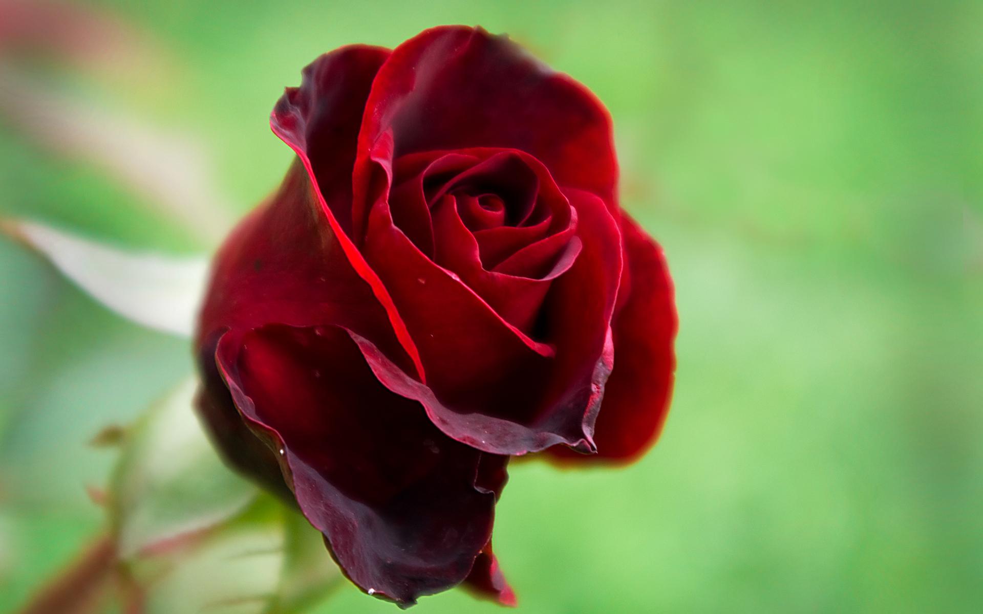 алая роза фото