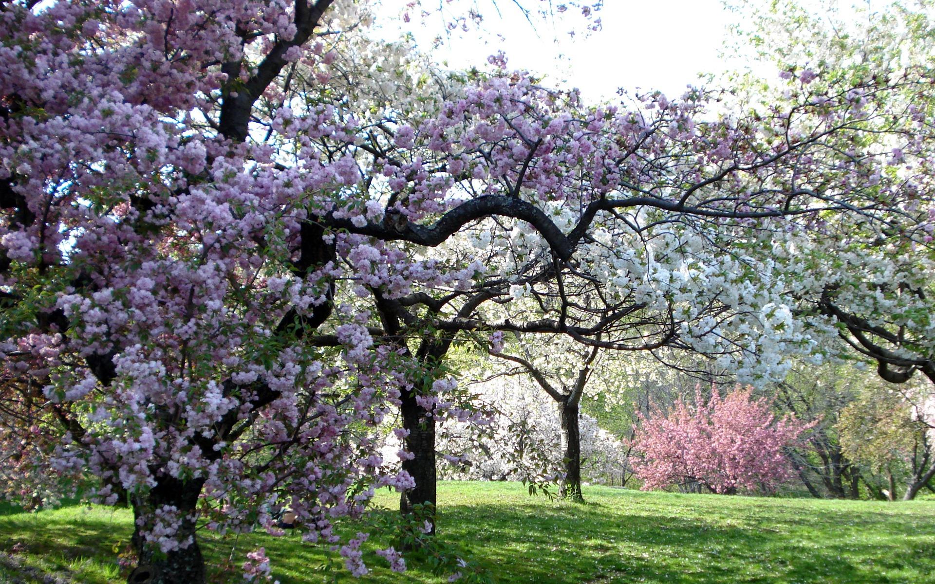 Hd обои розовые, сад, Деревья, весна,, цвет 1920 x 1080 для рабочего