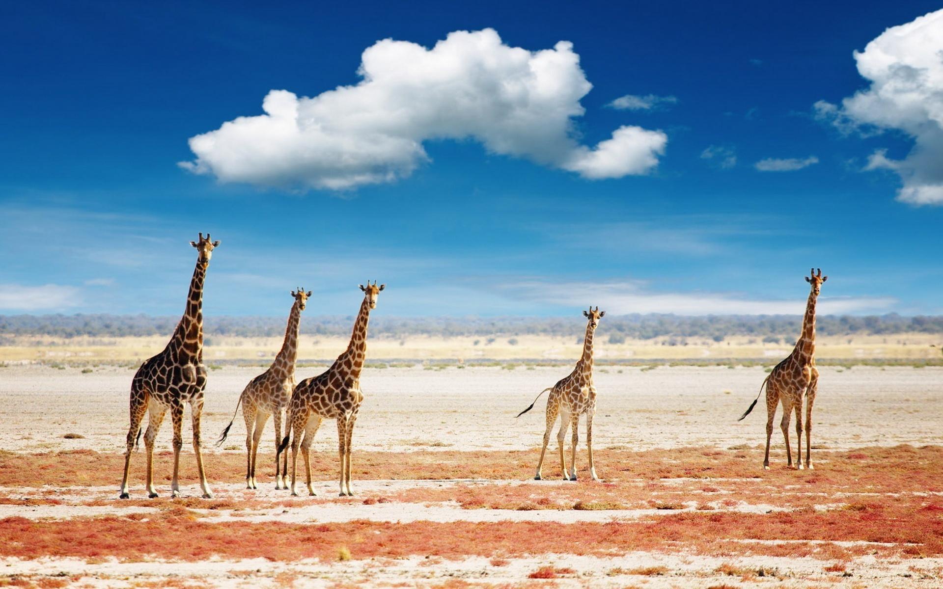 Pin by Vanessa Patterson on Animals Pinterest Giraffe and Animal